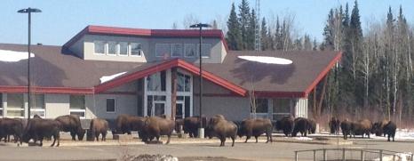 bison_cornerstone